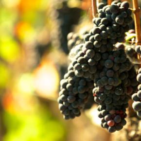 fact_grapes