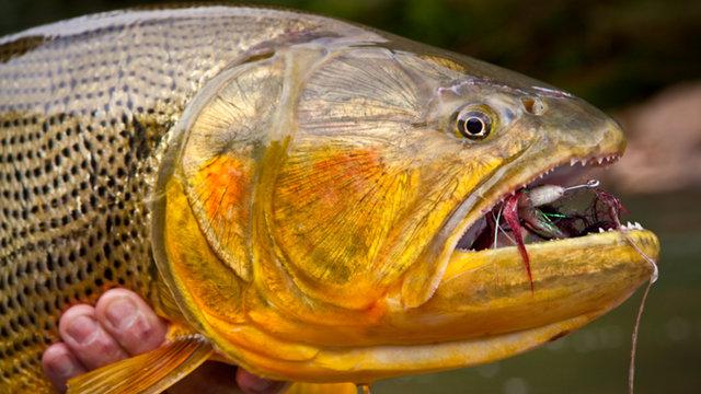 MjE4MDA4NDUzNA==_o_devils-gold---fly-fishing-for-golden-dorado-in-bolivia
